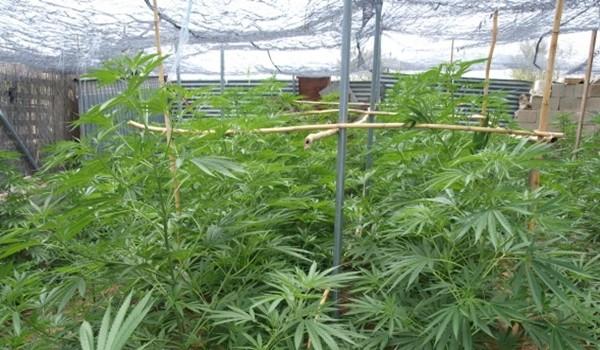 detenidos-hombres-desmantelar-plantaciones-marihuana-170-plantas_1_826026