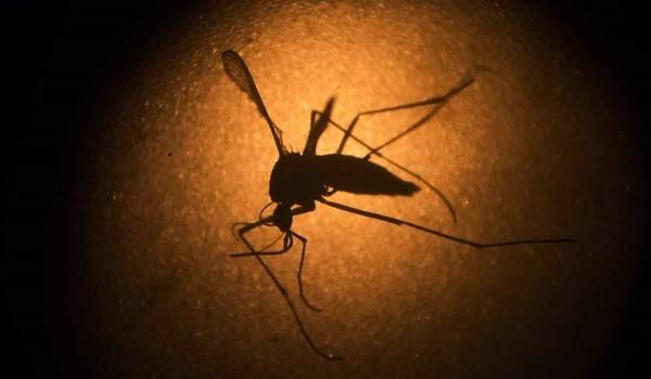 mosquito-del-zika