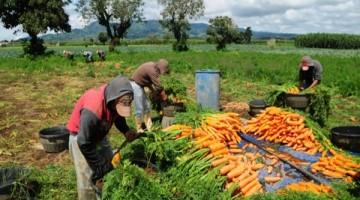 Recolección-de-zanahorias.-UN.ORG_-660x330