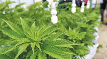 Visitan los cultivos de marihuana de uso terapeutico,